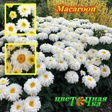 Нивяник Macaroon