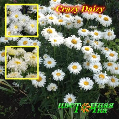 Нивяник белый Crazy Daizy