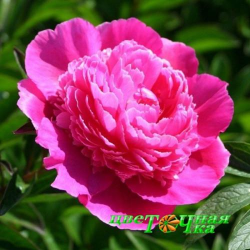 Пион Bouquet Perfect Premium