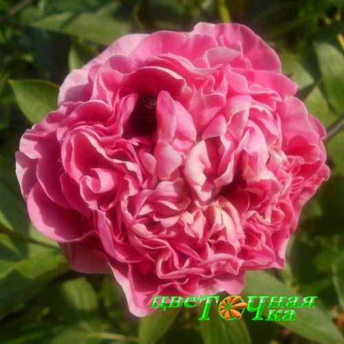 Пион Carnation Bouquet Premium