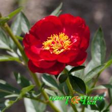 Пион Red Red Rose Premium