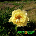 Пион Sequestered Sunshine Premium
