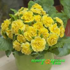 Примула Belarina Buttercup Yellow